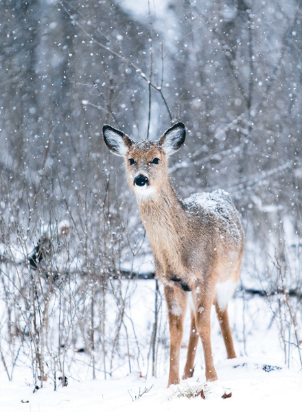 Fawn in the Snow