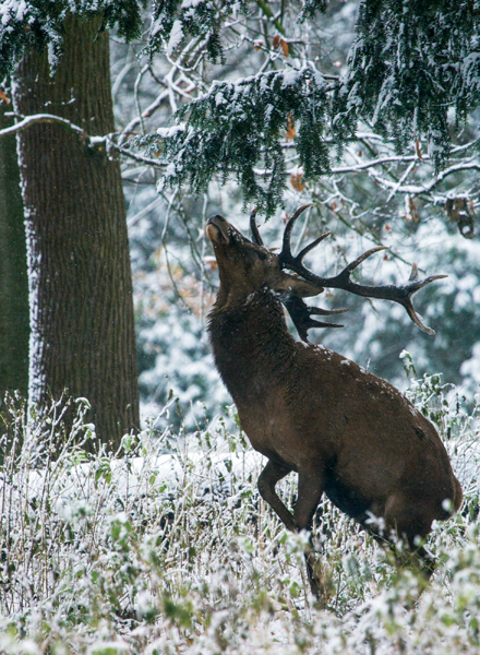 Red Stag Grazing